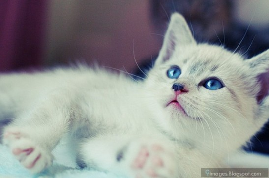 a6b94-cute-white-kitten-cat-blue-eyes