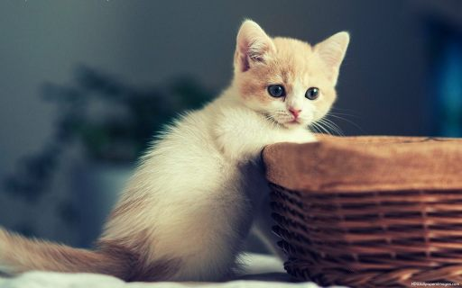 cute_white_cat