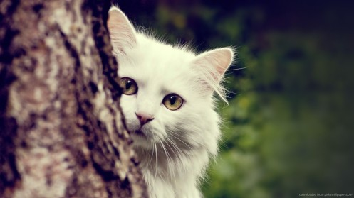 white-cat-behind-the-tree