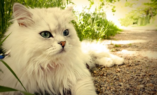cats-cute-white-cat-animals-blue-eyes-domestic-longhaired-desktop-background-images