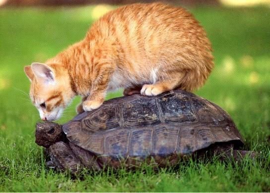 cat_and_turtle_by_tongueofmonkey-d4xrgpy
