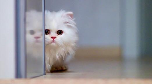 cute-white-cat-wallpaper-for-desktop