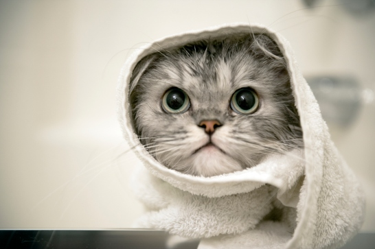 a-persian-cat-getting-a-bath-1