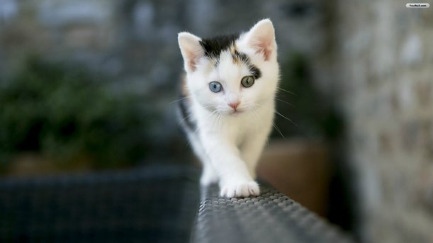 cute-white-cat-wallpaper