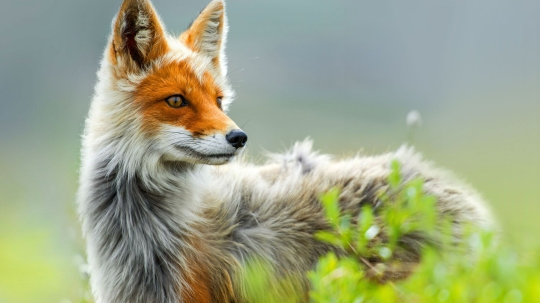 long-soft-silky-coat-red-fox-on-green-grass-field